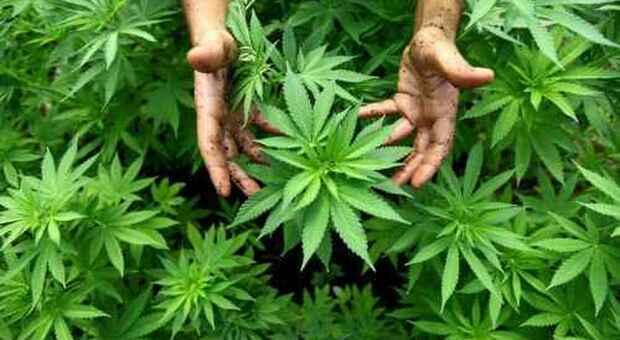 Coltivava marijuana nel giardino di casa: arrestata un'insospettabile 55enne