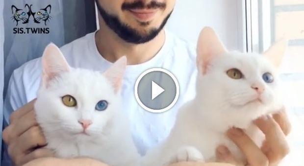 Iriss e abyss i gatti gemelli pi belli del web for I telefoni piu belli