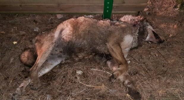 Lupo ucciso, nessun cacciatore: lo ha sbranato il suo branco. Era anche malato di tumore
