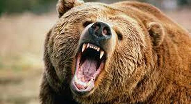 Resiste una settimana agli attacchi di un orso