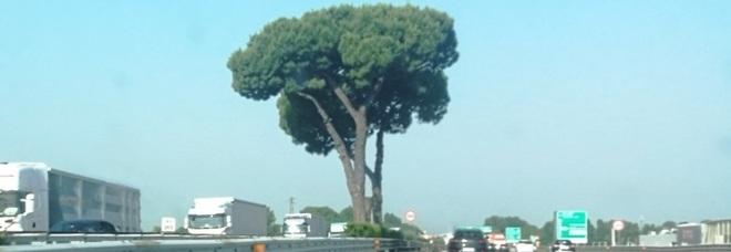 «Pini malati, sono un pericolo», tagliati i sei alberi storici dell'autostrada