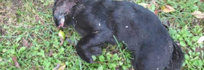 Trova Gatto Nero Impaccato Sulluscio Probabile Dispetto Di Un Condomino