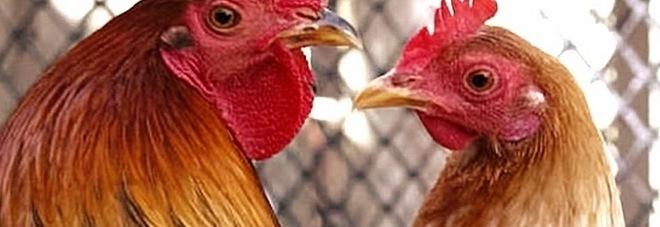 """Il """"canto"""" di galli e galline infastidisce il vicinato: il sindaco ordina lo sgombero"""