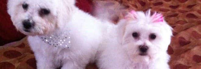 Scoperti 12 Cuccioli Di Cane Maltese Stipati Nel Bagagliaio Di Un