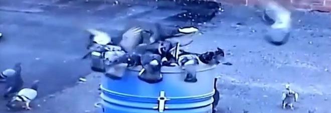 Troppi colombi scatta la caccia con gabbie dotate di trappole for Trappola piccioni