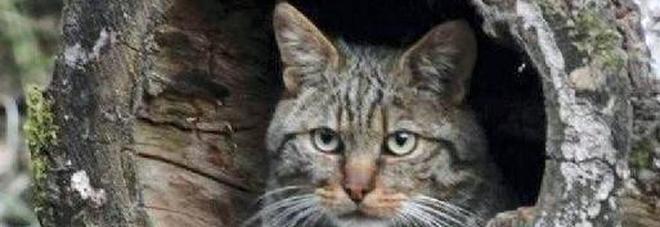 Il Ritorno Del Gatto Selvatico Non Si Vedeva Da Inizio Novecento