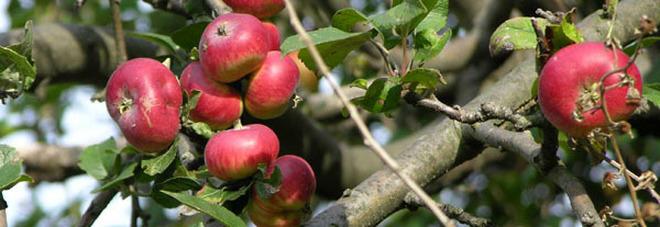 piante da frutto antiche un corso insegna come
