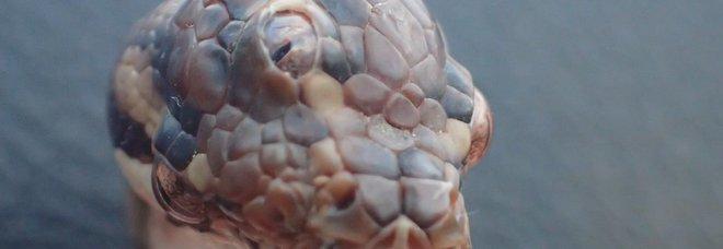 Serpente con tre occhi scoperto in Australia