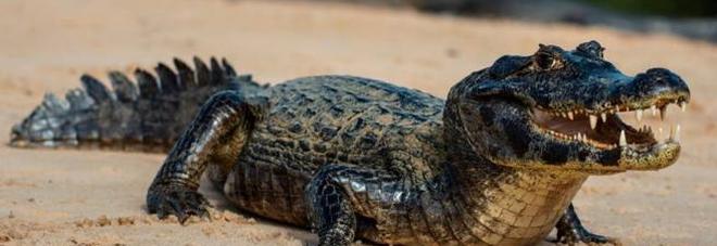 Il caimano Jack sparisce dal circo, paura in Sardegna