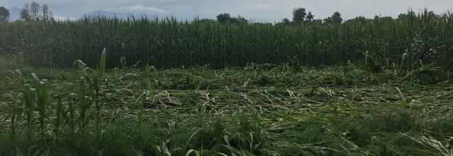Die Handlung von GM-Mais bereits von Vandalen bei Vivaro zerstört
