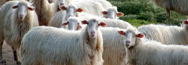 Il Cane Rincorre Le Pecore Pastore Lo Allontana Col Bastone E