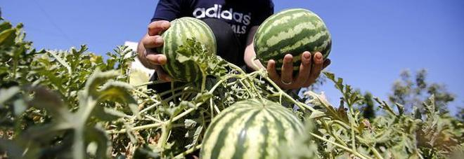 Braccianti in nero per le angurie  Maxi sanzioni per i coltivatori