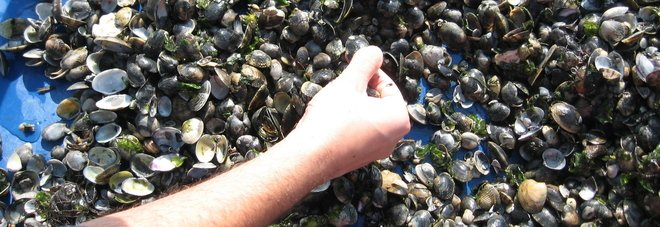 Duecento chili di vongole illegali  sequestrate e ributtate in mare