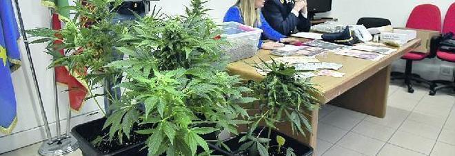 Coltivazione di marijuana nella taverna di casa arrestato - Taverna di casa ...