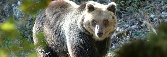 Trovata e uccisa l'orsa KJ2: aveva  aggredito un escursionista