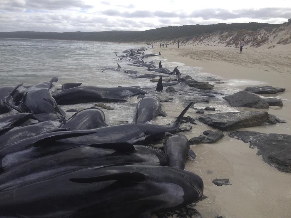 150 cetacei si sono spiaggiati nell'estremo sud-ovest dell'Australia